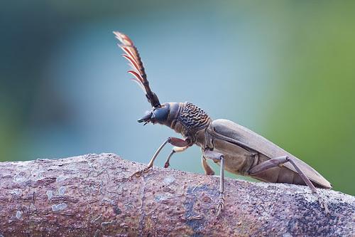 longhorn beetle male Cyriopalus pascoei IMG_7326 copy