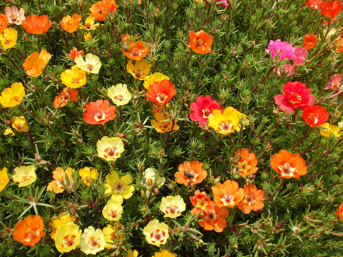 Portulaca by Angie Ouellette-Tower photo DSCF0911_zpsc50685fe.jpg
