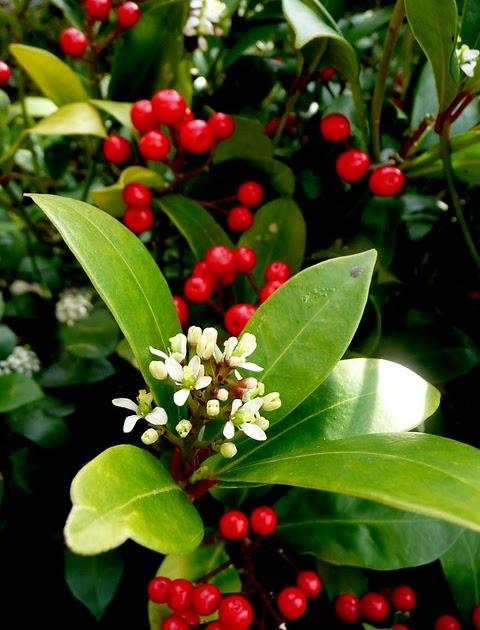 I tradizionali colori natalizi della skimmia japonica for Skimmia pianta