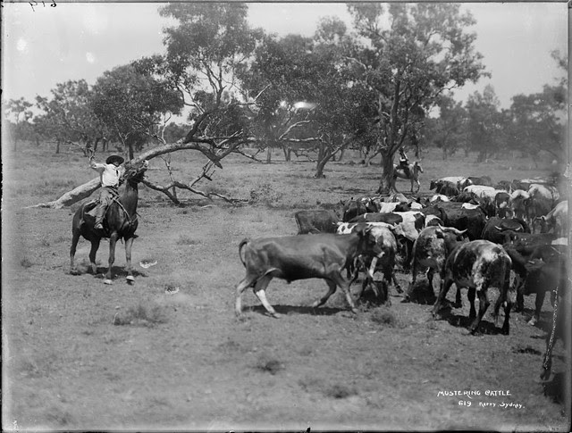 Stockmen and cattle, 1890-1900