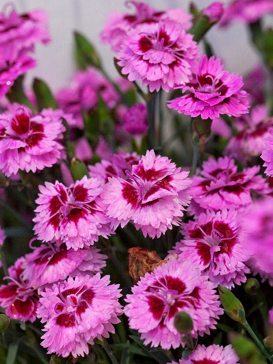 Dianthus EverLast series