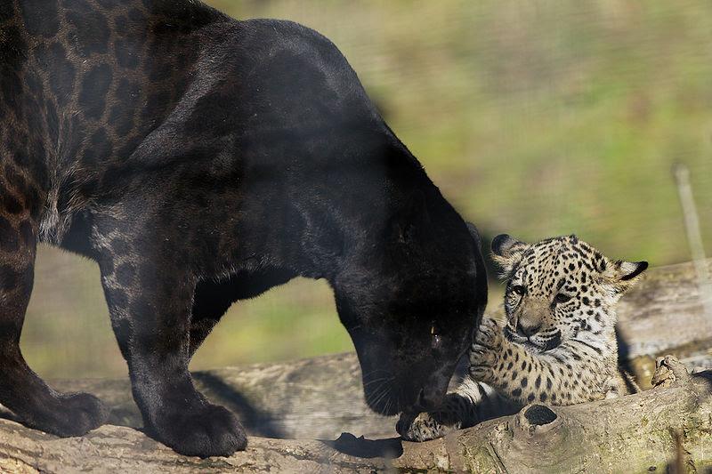 File:Panthera onca zoo Salzburg 2009 13.jpg