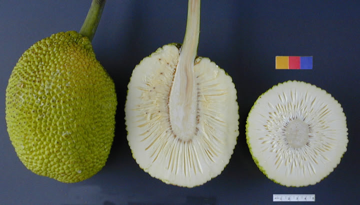 File:ARS breadfruit49.jpg