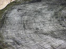 http://upload.wikimedia.org/wikipedia/commons/thumb/7/7d/Tree.ring.arp.jpg/250px-Tree.ring.arp.jpg