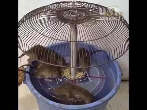 Cách chế bẫy chuột từ lồng quạt cũ và xô nhựa khiến chuột chết cả chùm