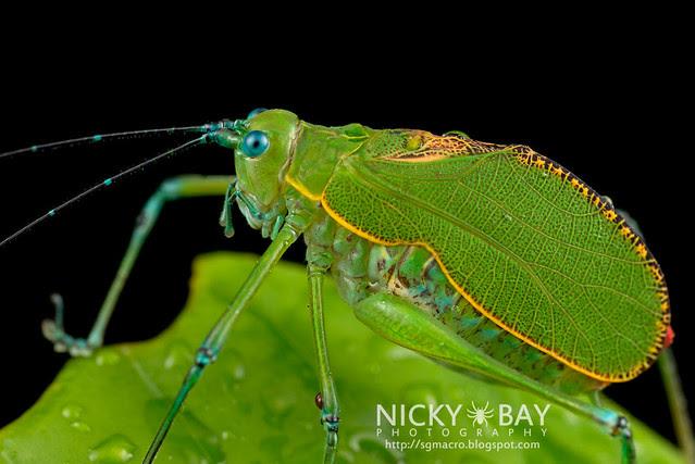 Katydid (Tettigoniidae) - DSC_0655