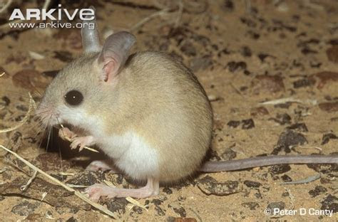 Fawn hopping mouse videos, photos and facts   Notomys cervinus   Arkive