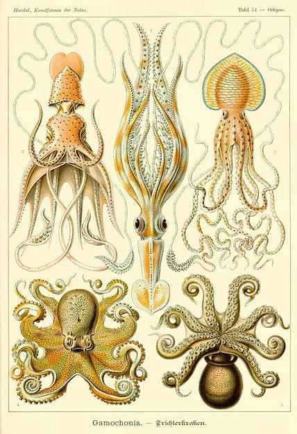 Archivo: Haeckel Gamochonia.jpg