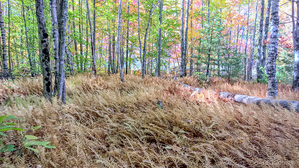 in the woods, ferns in autumn brown, trees wearing mixed colors