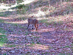 closer view of bobcat