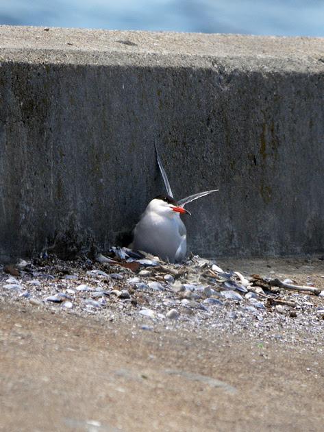 Ed Gaillard: birds &emdash; Nesting Common Tern, Governor's Island