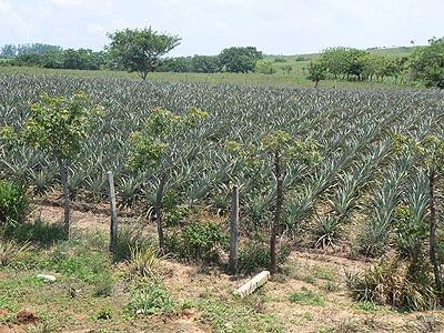 champs d'ananas.jpg