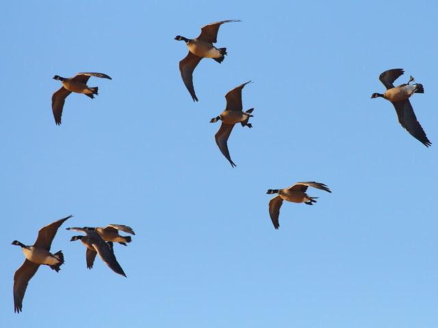 IMG_1933 Aleutian Cackling Geese