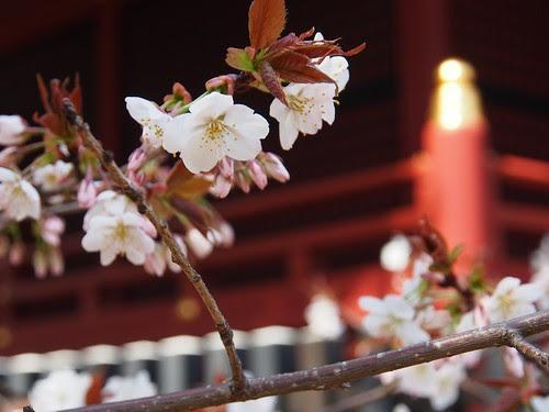 渋谷にある金王桜