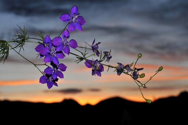 The indoor larkspur enjoyed outside sunset the final day of winter.