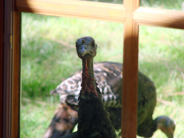 curious turkey
