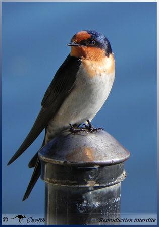 Swallow_P025631