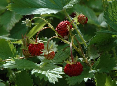 strawberries :: jordbær #3