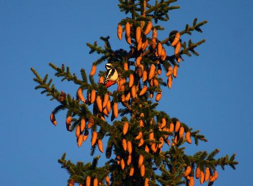 Spot the Woodpecker (by Steffe)