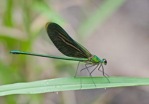Green Metalwing damselfly, Neurobasis chinensis IMG_8124 copy