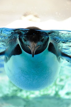 magicalnaturetour:    Penguin Underwater (by BONGURI) :)