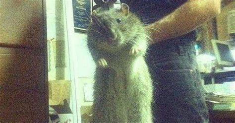 Homeowners warned of rat INVASION after weird winter weather sees rodent population explosion