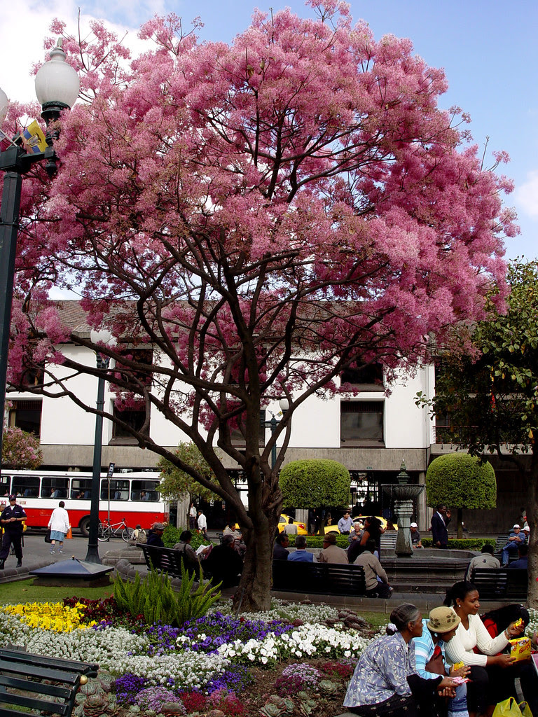 DSC00740 Arupo tree Quito Ecuador