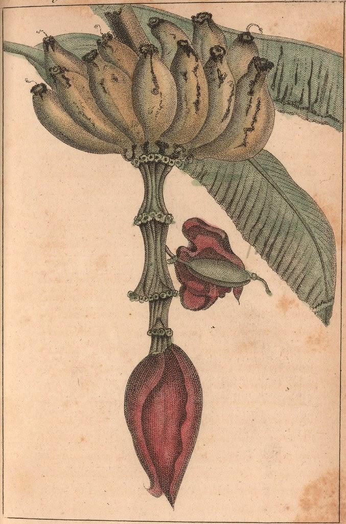 Patte de Figues bananes sur le régime terminé par la Popotte.