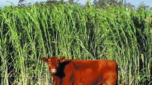 A comer. La vaca, frente a un lote de sorgo forrajero. También pueden diferirse otros materiales, como el granífero.