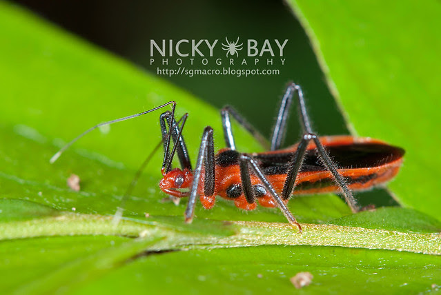 Assassin Bug? (Reduviidae) - DSC_2389