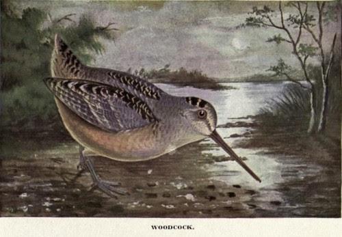 bird book public domain free image woodcock