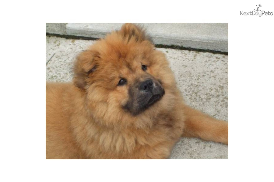 Chow Chow Pupppies | Chow Chow puppy for sale near Russia
