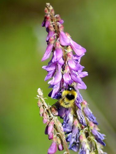 Bee on Tufted Vetch by RV Bob