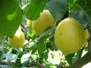 国産【和歌山・有田】無農薬 完熟 木成りレモン