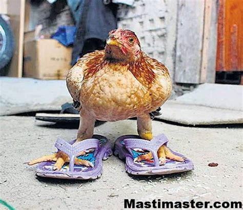 funny hen pictures  whatsapp group mastimastercom