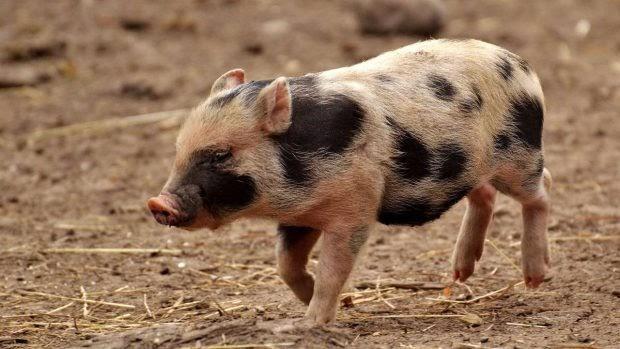 ¿Cómo vacunar a un cerdo?