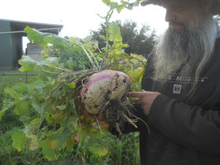 Same Large Winter-Grown Turnip