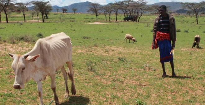 Enflaquecido y debilitado por las enfermedades, la mortalidad del ganado se ha disparado (Pablo L. Orosa)