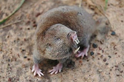 Large Brazilian Rodent and Pinyon mouse Wikipedia