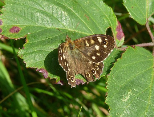 22343 - Speckled Wood butterfly