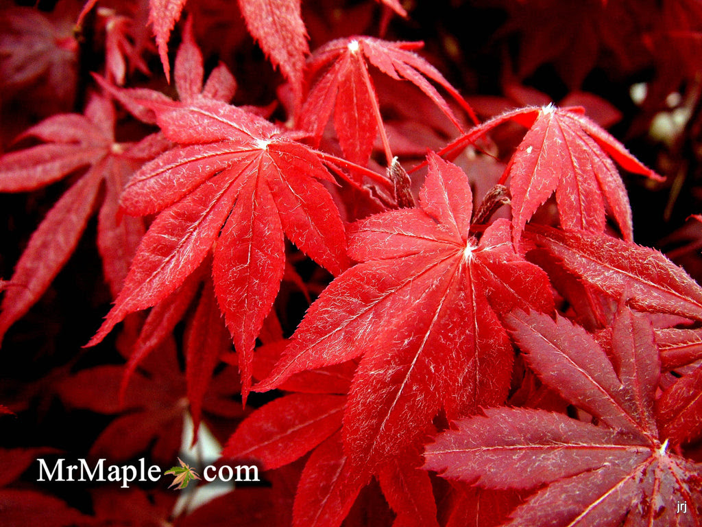 Buy Acer Palmatum Bloodgood Red Japanese Maple Tree Mr Maple