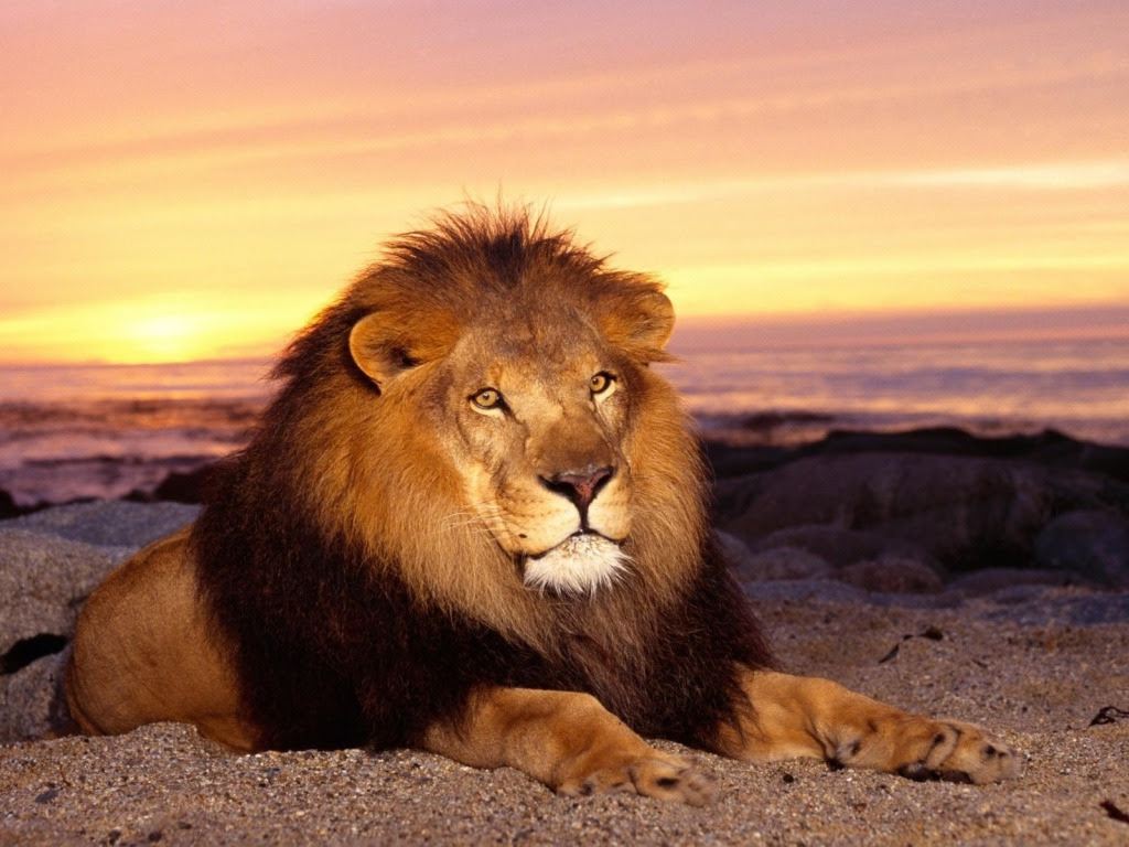 Background Lion Wallpaper Hd Download