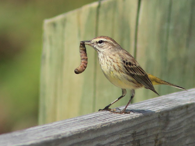 Palm Warbler (Dendroica palmarum) with worm 20120219