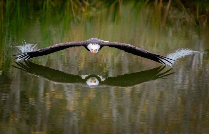 Un aguila cazando en el lago