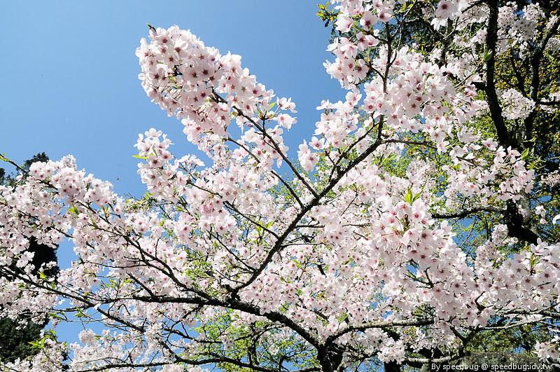 阿里山櫻花101
