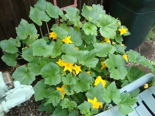 my male pumpkin flowers