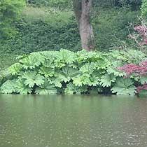 http://www.bbc.co.uk/gardening/plants/plant_finder/images/large_db_pics/large/gunnera_manicata.jpg