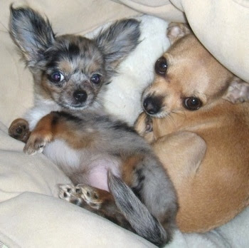 long haired chihuahua puppies florida. brown long haired chihuahua