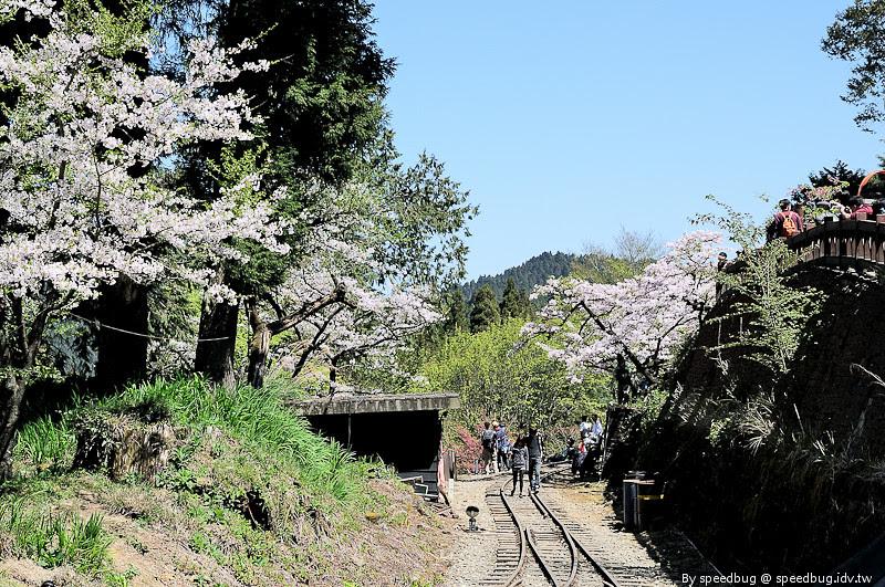 阿里山櫻花季40