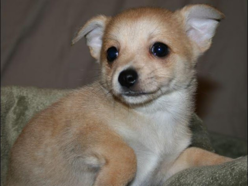 Roger the Chihuahua-Pomeranian Needs a Home - Groton, CT Patch